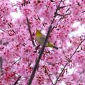 マメ桜メジロ1