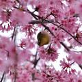 マメ桜メジロ2