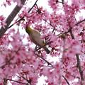 マメ桜メジロ6
