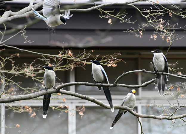 オナガ4羽と飛び来る一羽