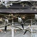 Photos: オナガ4羽と飛び来る一羽