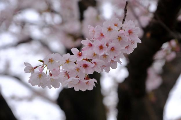 ソメイヨシノ8日目いつもの枝