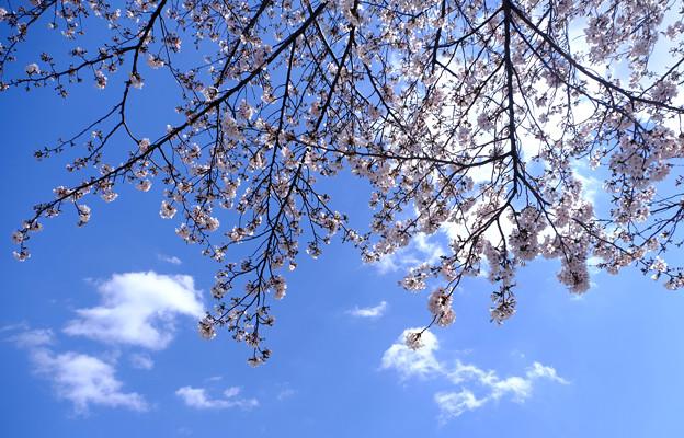 9日目のソメイヨシノと雲