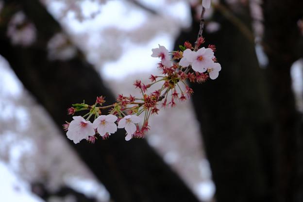 28日9時20分ソメイヨシノ