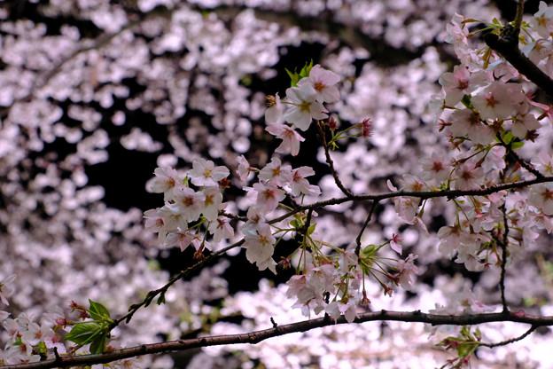 夜の桜って