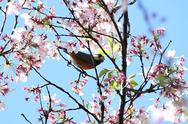 桜ヤマガラ