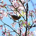 Photos: 桜ヤマガラ