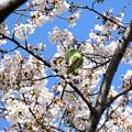Photos: 桜ワカケホンセイインコ
