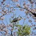 Photos: 桜アオサギ