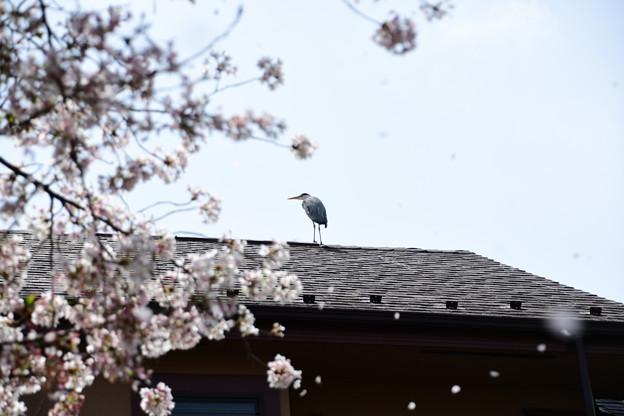 Photos: アオサギと散る桜