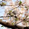 Photos: 桜四十雀