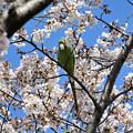 Photos: 桜ワカケホンセイインコ2