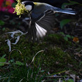 Photos: 巣材くわえて飛ぶ