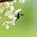 白藤にクマバチ