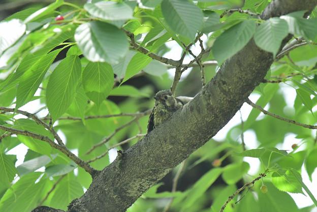 コゲラ幼鳥2