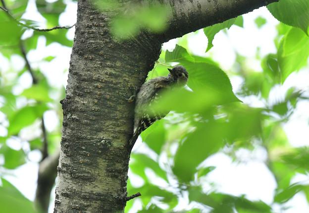 コゲラ幼鳥4