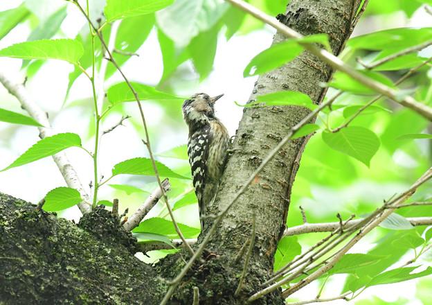 コゲラ幼鳥6