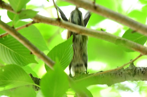 コゲラ幼鳥バンザイ
