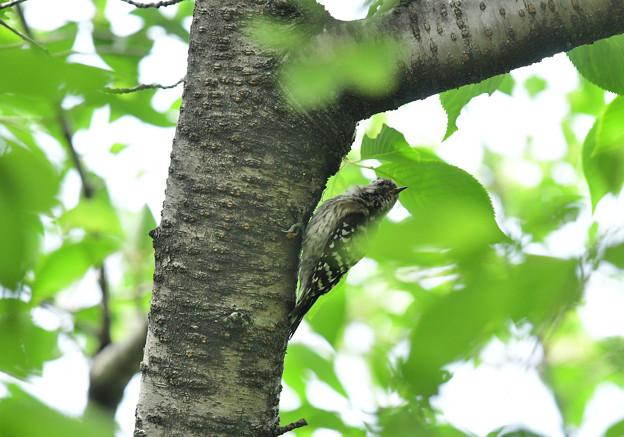 コゲラ幼鳥5