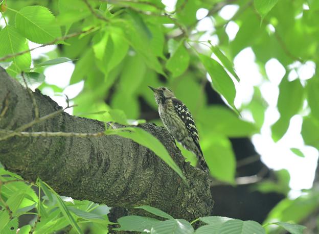 コゲラ幼鳥1