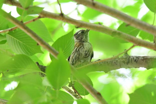 コゲラ幼鳥3