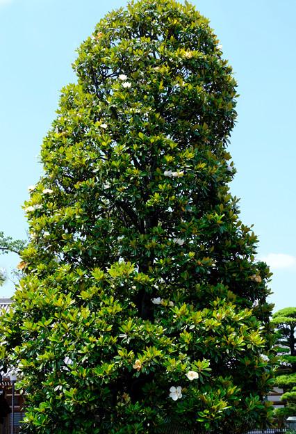 タイサンボク大木