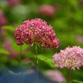 Photos: アメリカ紫陽花ピンクアナベル