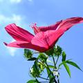 幅広の花びらのモミジアオイ