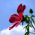 幅広の花びらのモミジアオイ2