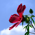 Photos: 幅広の花びらのモミジアオイ2