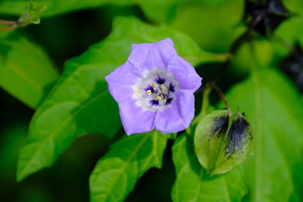 Photos: 黒鬼灯の花