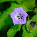黒鬼灯の花