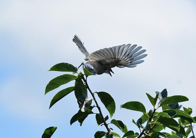 オナガの幼鳥3