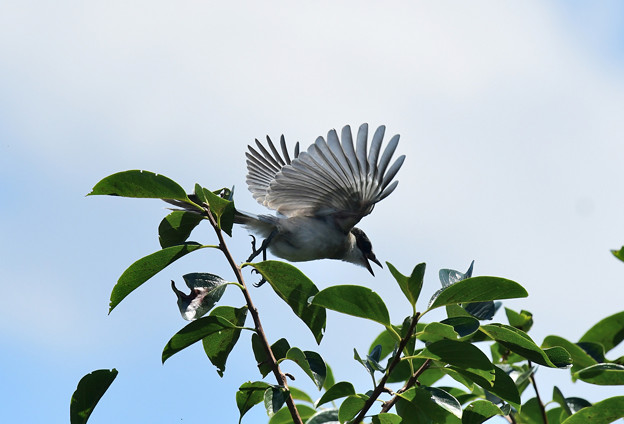 オナガの幼鳥4