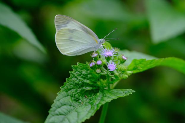 アゲラタムに蝶