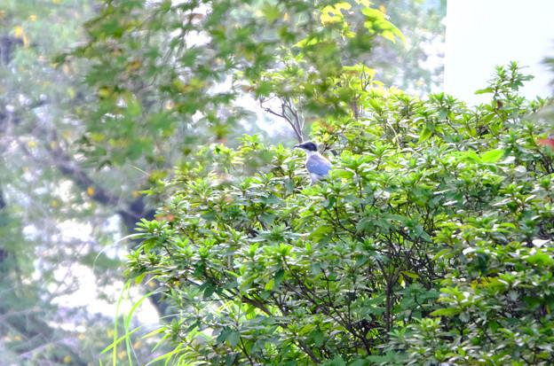 緑の中のオナガ幼鳥
