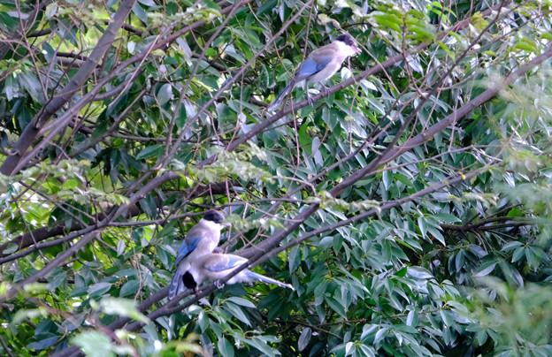 オナガ幼鳥たち 1