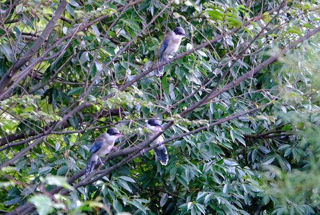 オナガ幼鳥たち2