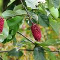 Photos: 朴の木の実