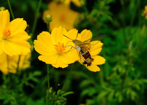 黄花スカシバ1