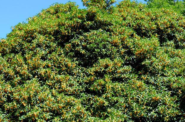 キンモクセイ大樹