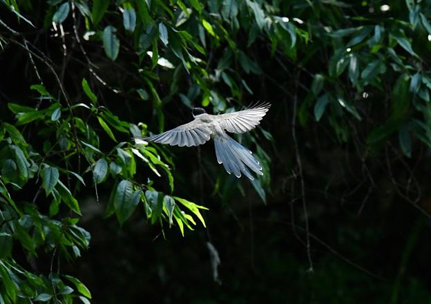 オナガ飛ぶ