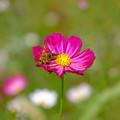 蜂のいる秋桜2