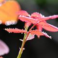 柔らかき薔薇の葉