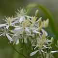 参考 センニンソウの花