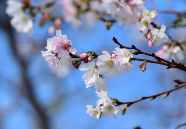 十月桜 (2)