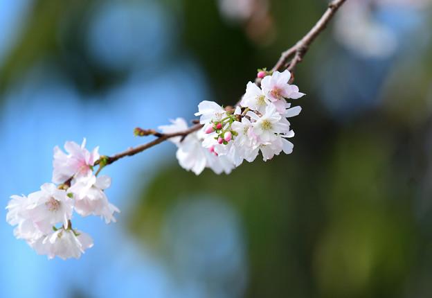 十月桜 (3)