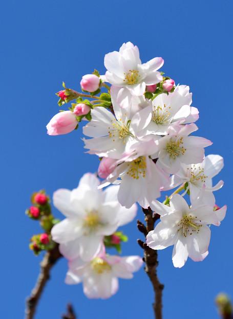 十月桜 (4)