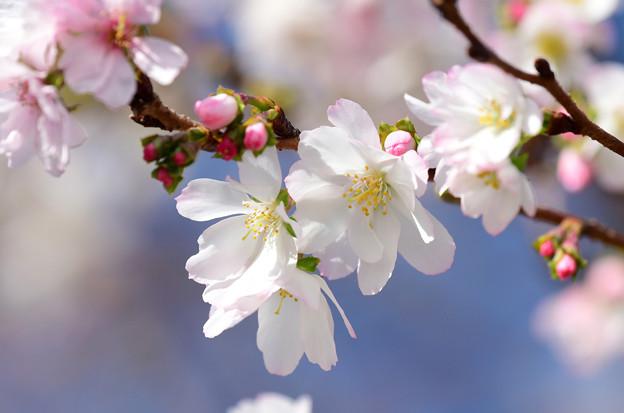 十月桜 (5)