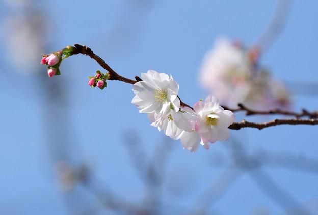 十月桜 (6)
